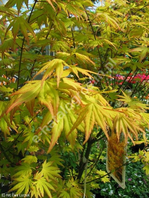 klon palmowy 'Orange Dream' - Acer palmatum 'Orange Dream'