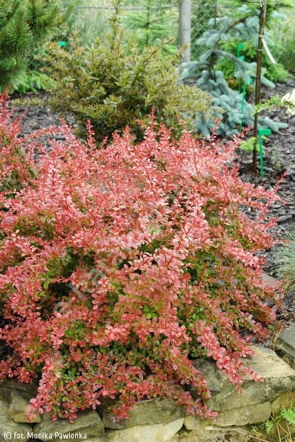 berberys Thunberga 'Red Carpet' - Berberis thunbergii 'Red Carpet'