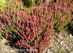 wrzos pospolity 'Dark Beauty' - Calluna vulgaris 'Dark Beauty'