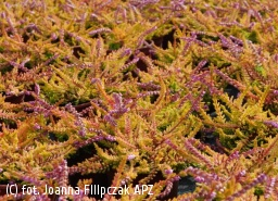 wrzos pospolity 'Wickwar Flame' - Calluna vulgaris 'Wickwar Flame'