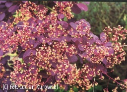 perukowiec podolski 'Royal Purple' - Cotinus coggygria 'Royal Purple'