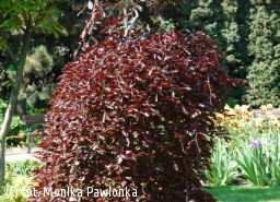 buk pospolity 'Purple Fountain' - Fagus sylvatica 'Purple Fountain'