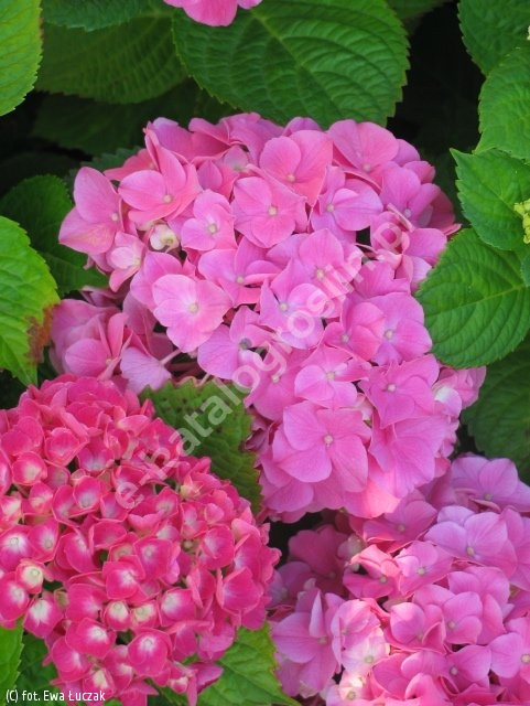 hortensja ogrodowa 'Bouquet Rose' - Hydrangea macrophylla 'Bouquet Rose'