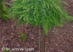 jałowiec pospolity 'Greenmantle' - Juniperus communis 'Greenmantle'