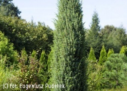 jałowiec pospolity 'Meyer' - Juniperus communis 'Meyer'