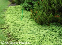 jałowiec płożący 'Golden Carpet' - Juniperus horizontalis 'Golden Carpet'