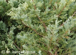 jałowiec skalny 'Moonglow' - Juniperus scopulorum 'Moonglow'