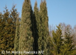jałowiec skalny 'Skyrocket' - Juniperus scopulorum 'Skyrocket'