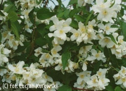 jaśminowiec Lewisa 'Waterton' - Philadelphus lewisii 'Waterton'