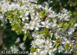 śliwa tarnina - Prunus spinosa