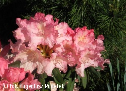 różanecznik 'Bruns Loreley' - Rhododendron 'Bruns Loreley'