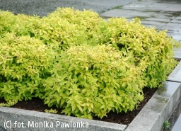 tawuła japońska 'Golden Princess' - Spiraea japonica 'Golden Princess'