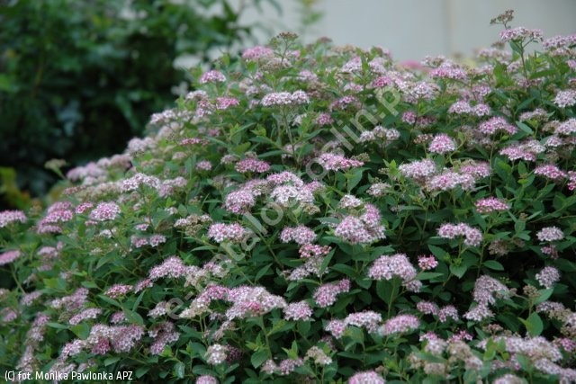 tawuła japońska 'Little Princess' - Spiraea japonica 'Little Princess'