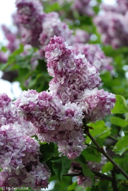 lilak pospolity 'Kathrine Havemeyer' - Syringa vulgaris 'Kathrine Havemeyer'