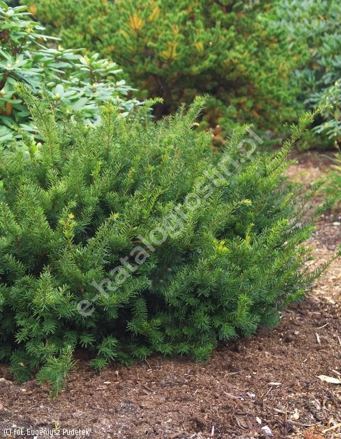 cis pośredni 'Farmen' - Taxus ×media 'Farmen'