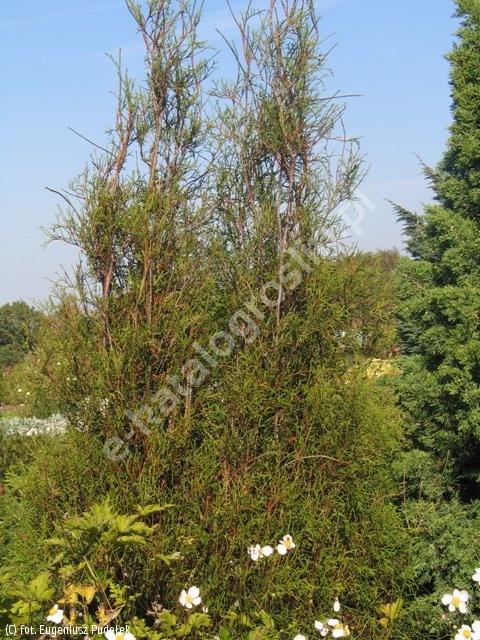 żywotnik zachodni 'Filiformis' - Thuja occidentalis 'Filiformis'
