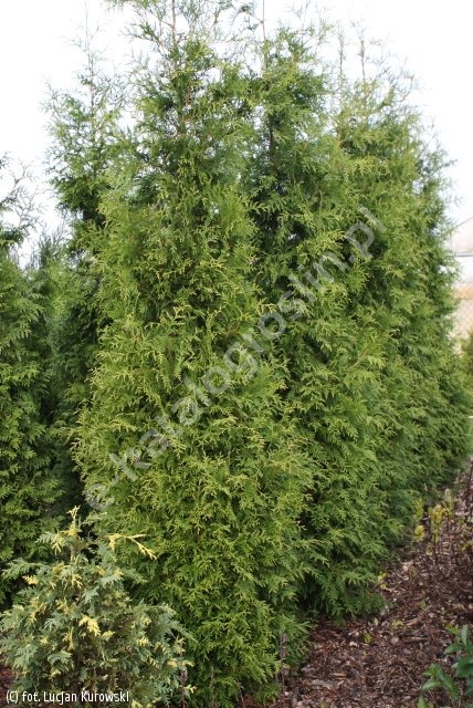 żywotnik zachodni 'Frieslandia' - Thuja occidentalis 'Frieslandia'