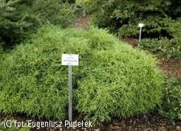 żywotnik zachodni 'Mr Bowling Ball' - Thuja occidentalis 'Mr Bowling Ball'