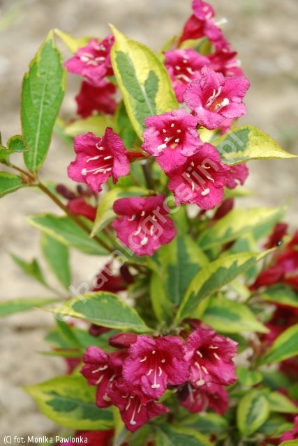 krzewuszka cudowna FRENCH LACE 'Brigela' - Weigela florida FRENCH LACE 'Brigela' PBR