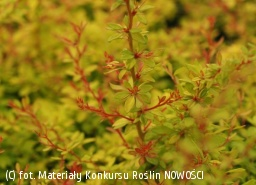 berberys Thunberga 'Golden Dream' - Berberis thunbergii 'Golden Dream' PBR