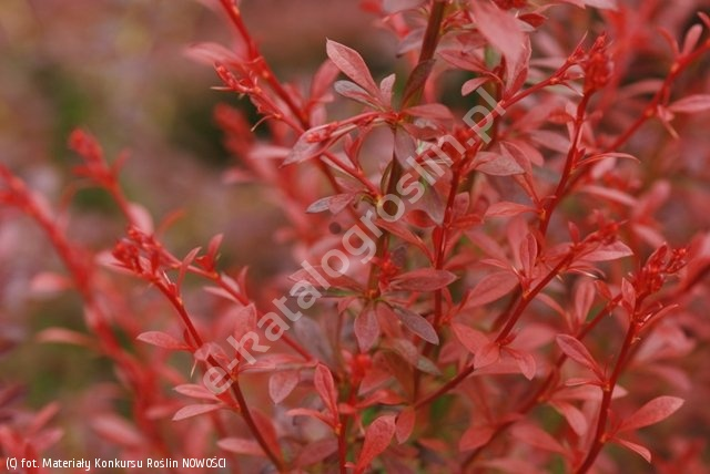 berberys Thunberga 'Orange Dream' - Berberis thunbergii 'Orange Dream' PBR