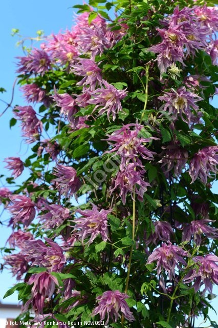 powojnik 'Purple Dream' - Clematis 'Purple Dream' PBR