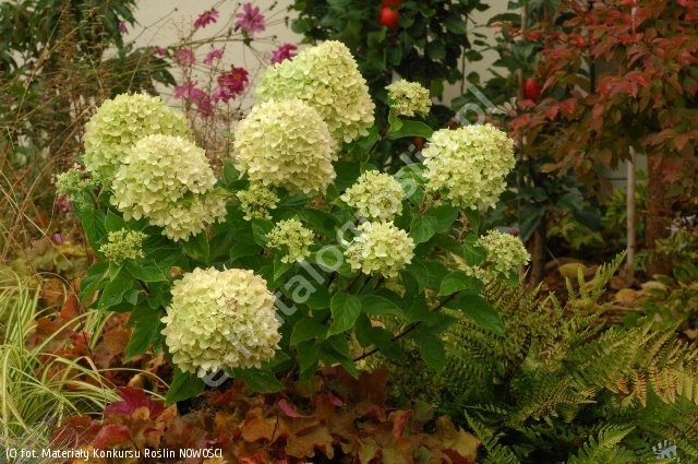 hortensja bukietowa LITTLE LIME 'Jane' - Hydrangea paniculata LITTLE LIME 'Jane' PBR ®