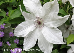 powojnik 'Beautiful Bride' - Clematis 'Beautiful Bride'