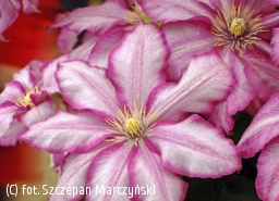 powojnik 'Betty Risdon' - Clematis 'Betty Risdon'
