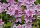 powojnik 'Carnaby' - Clematis 'Carnaby'
