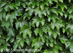winobluszcz trójklapowy 'Diamond Mountains' - Parthenocissus tricuspidata 'Diamond Mountains'