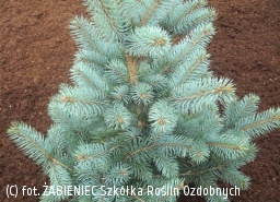świerk kłujący 'Oldenburg' - Picea pungens 'Oldenburg'