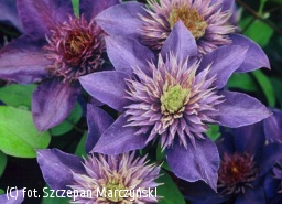 powojnik 'Multi Blue' - Clematis 'Multi Blue'