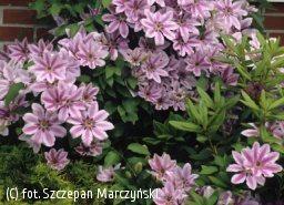 powojnik 'Nelly Moser' - Clematis 'Nelly Moser'