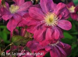 powojnik 'Red Star' - Clematis 'Red Star'