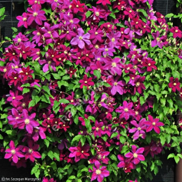 powojnik 'Sunset' - Clematis 'Sunset'