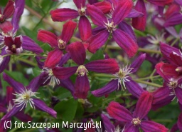 powojnik 'Sweet Summer Love' - Clematis 'Sweet Summer Love' PBR