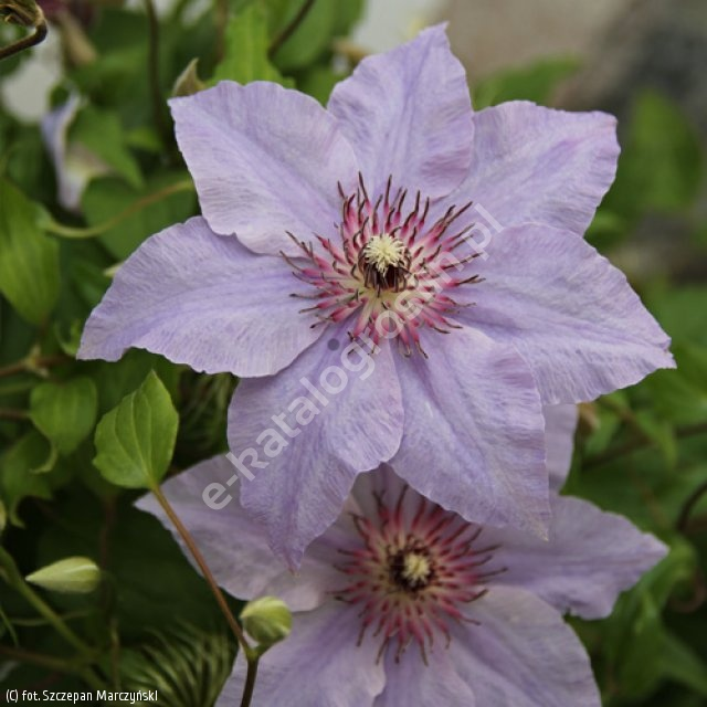 powojnik 'The First Lady' - Clematis 'The First Lady'