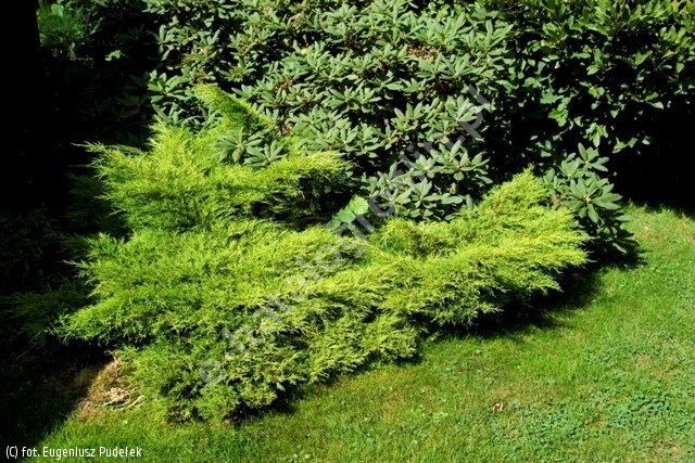 jałowiec Pfitzera 'Old Gold' - Juniperus ×pfitzeriana 'Old Gold'