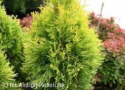 żywotnik zachodni 'Filips Magic Moment' - Thuja occidentalis 'Filips Magic Moment' PBR
