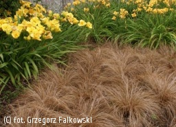 turzyca włosowa 'Bronze Form' - Carex comans 'Bronze Form'