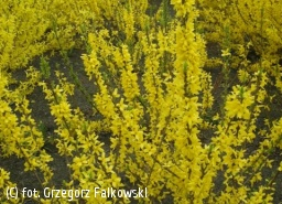 forsycja BOUCLE D'OR 'Courtacour' - Forsythia BOUCLE D'OR 'Courtacour'