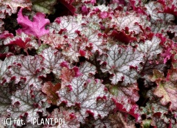 żurawka 'Can Can' - Heuchera 'Can Can'