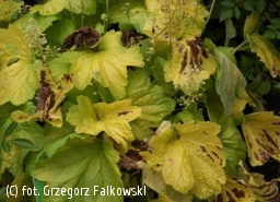 żurawka 'Electric Lime' - Heuchera 'Electric Lime'