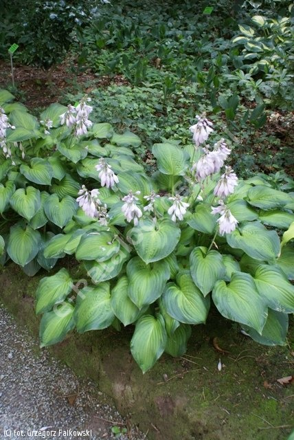 funkia 'Midwest Magic' - Hosta 'Midwest Magic'