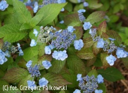hortensja piłkowana 'Blue Billow' - Hydrangea serrata 'Blue Billow'
