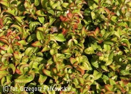 kiścień axillaris 'Curly Red' - Leucothoe axillaris 'Curly Red' PBR