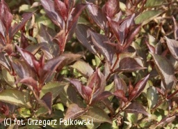 krzewuszka cudowna 'Ruby Queen' - Weigela florida 'Ruby Queen' PBR