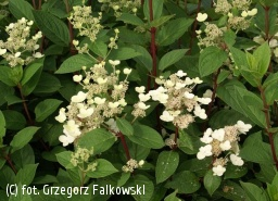 hortensja bukietowa  EARLY SENSATION 'Bulk' - Hydrangea paniculata EARLY SENSATION 'Bulk' PBR