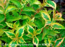 krzewuszka cudowna MY MONET 'Sunset' - Weigela florida MY MONET 'Sunset'